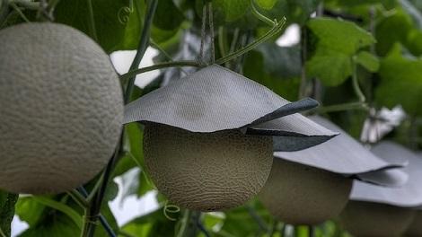 les fruits les plus chers du monde melon yubari